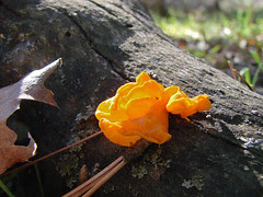 witch's butter - tremella mesenterica