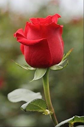 Mawar Merah Gambar Bunga Mawar