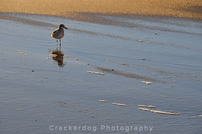 A shorebird I can't identify