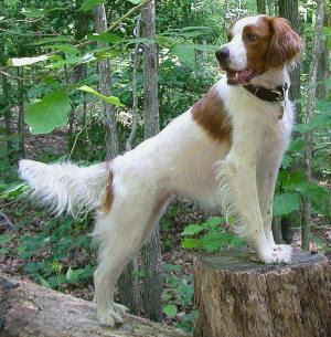 Irish Red and White Setter ~ Everything Best Dogs