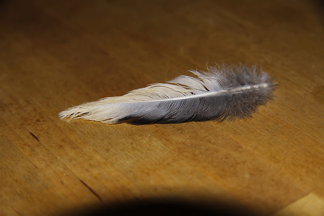mourning dove feather