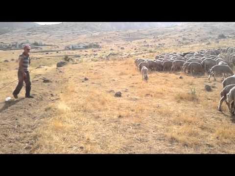 Karaveran yaylasinda koyunlar ve çoban