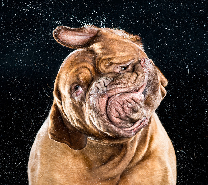 Shake: Hilarious High Speed Photographs of Dogs Shaking by Carli Davidson humor high speed dogs