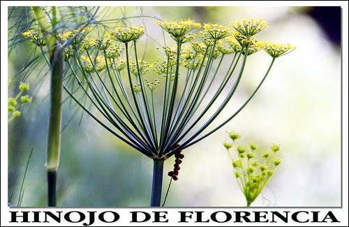 Hinojo de Florencia