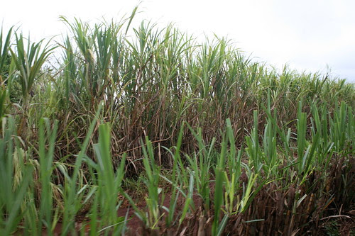 Sugarcane (Saccharum)