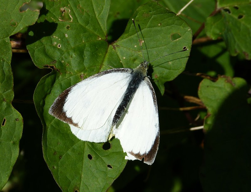 28921 - Large White, Slade