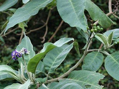20060225-vs-8627 Tabaqueira - Solanum mauritianum