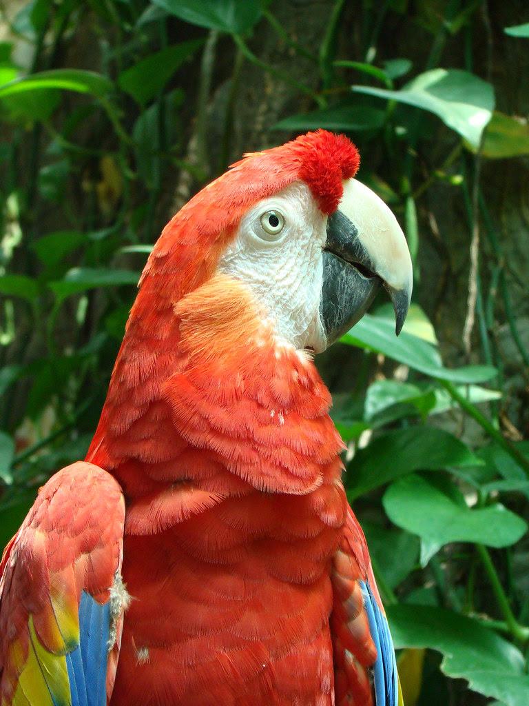 DSC06305 scarlet macaw parrot
