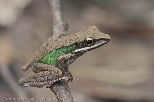 frog, Hylarana raniceps IMG_6518 copy