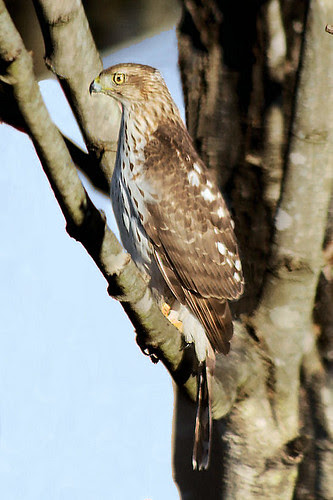 Cooper's Hawk by paminia