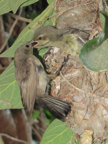 Mama Sunbird feeds her babies 5