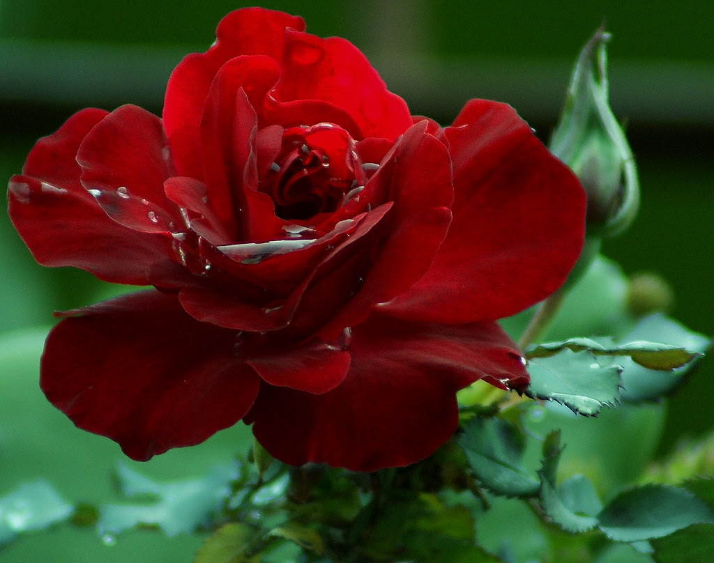 The poetic beauty of roses and flowers Inspirational quotes and pictures