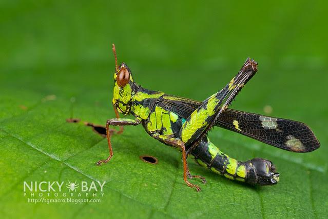 Monkey Grasshopper (Erianthus versicolor) - DSC_5223