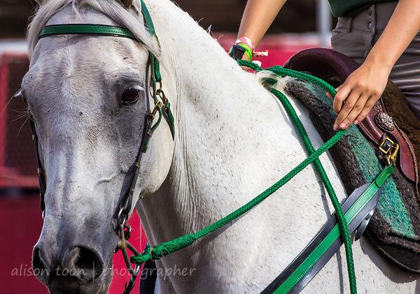 Arabian horse breed
