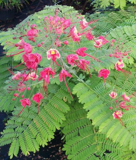 Pink Pride of Barbados, must have!