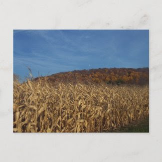 Corn in fall post cards