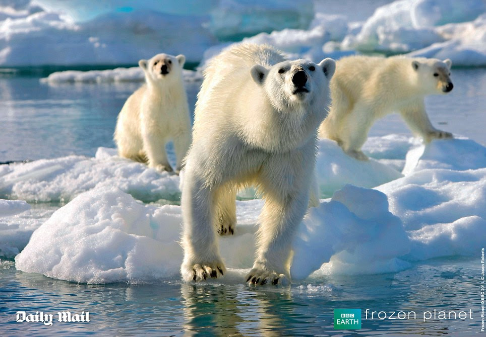Inesquecível: Re-viver o imaginário fantástico da série da BBC Planeta congelado com estes cartazes incríveis.  Esta imagem mostra uma incrível urso polar fêmea com seus dois filhotes