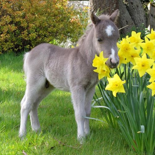 Baby Horse; Foal; Colt. what a pretty  /blue i love the little blaze on hie fore head