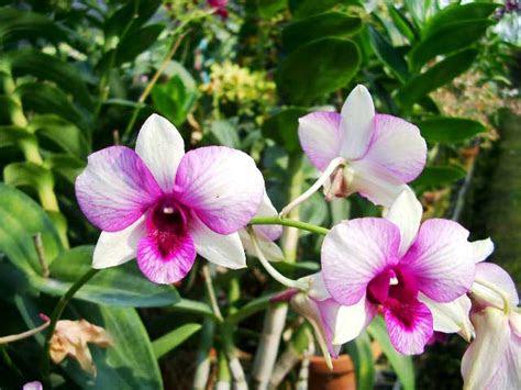 gambar bunga bunga anggrek