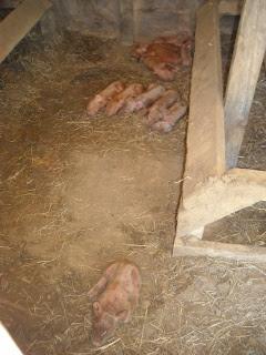 Newly Born Duroc Piglets
