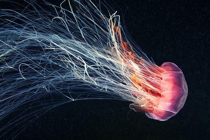 underwater-jellyfish-alexander-semenov-aquatis-5-2