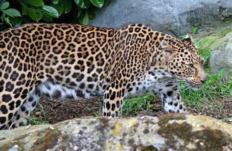 Persian Leopard Facts, Habitat, Diet, Behavior, Conservation