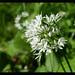 25-05-13 Wild Garlic