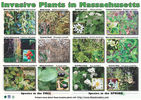 invasive plants in Massachusetts poster