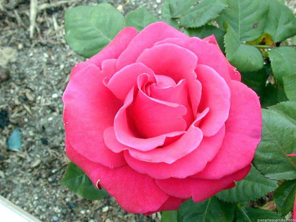 Fotos De Rosas 2 Pag 9 Fotos Flores