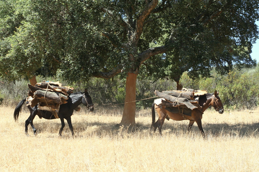 Transporte del corcho en mulas. Cork transport on mules.