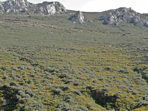 Τα φρύγανα χαρακτηριζουν το τοπίο της Μάνης (από το αρχείο του συγγραφέα)