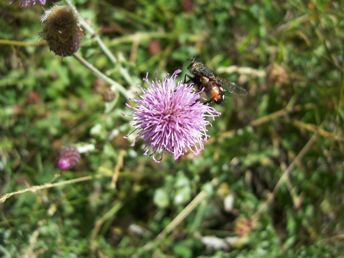 Chardon des champs - cirsium arvense - avec mouche - Photo de fleur sauvage