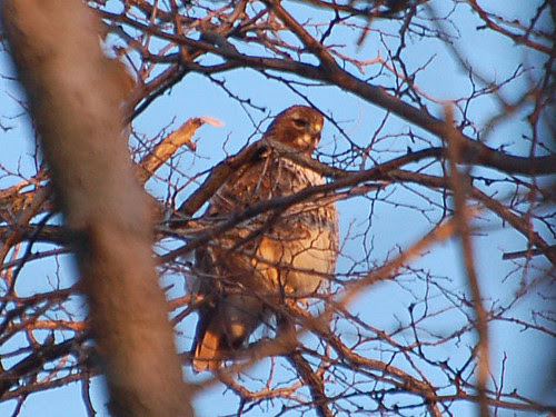 Inwood Hill Red-Tail