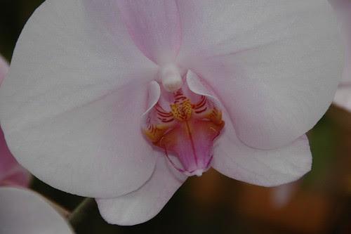 Dtps. 'Elmore's Pink Silk'