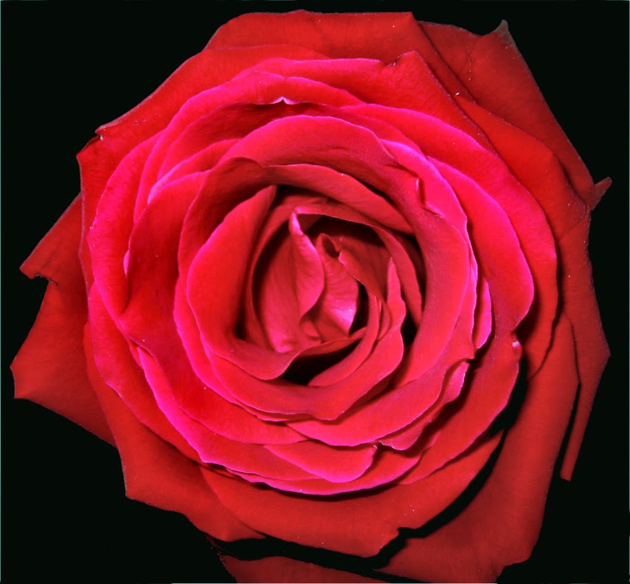 Rose on Black Background - photo by Mike Fisk -- soul-amp.com