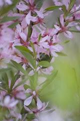 mandlipuu põõsas