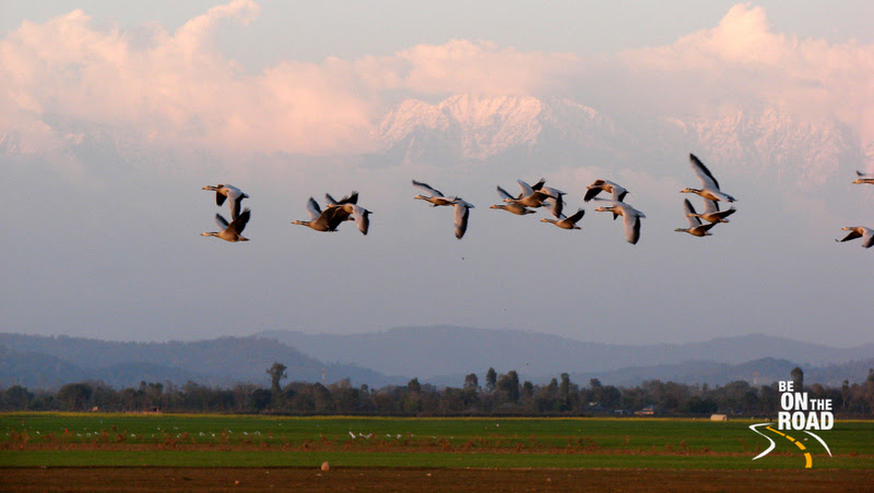 Bar Headed Geese fly with the Himalayas in the background