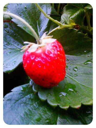last strawberry?
