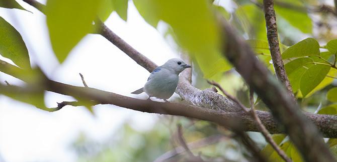 Cali está realizando el censo urbano de aves