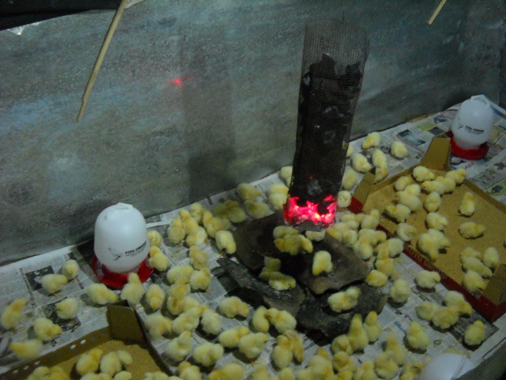 cara ternak ayam: Ternak Ayam Telur