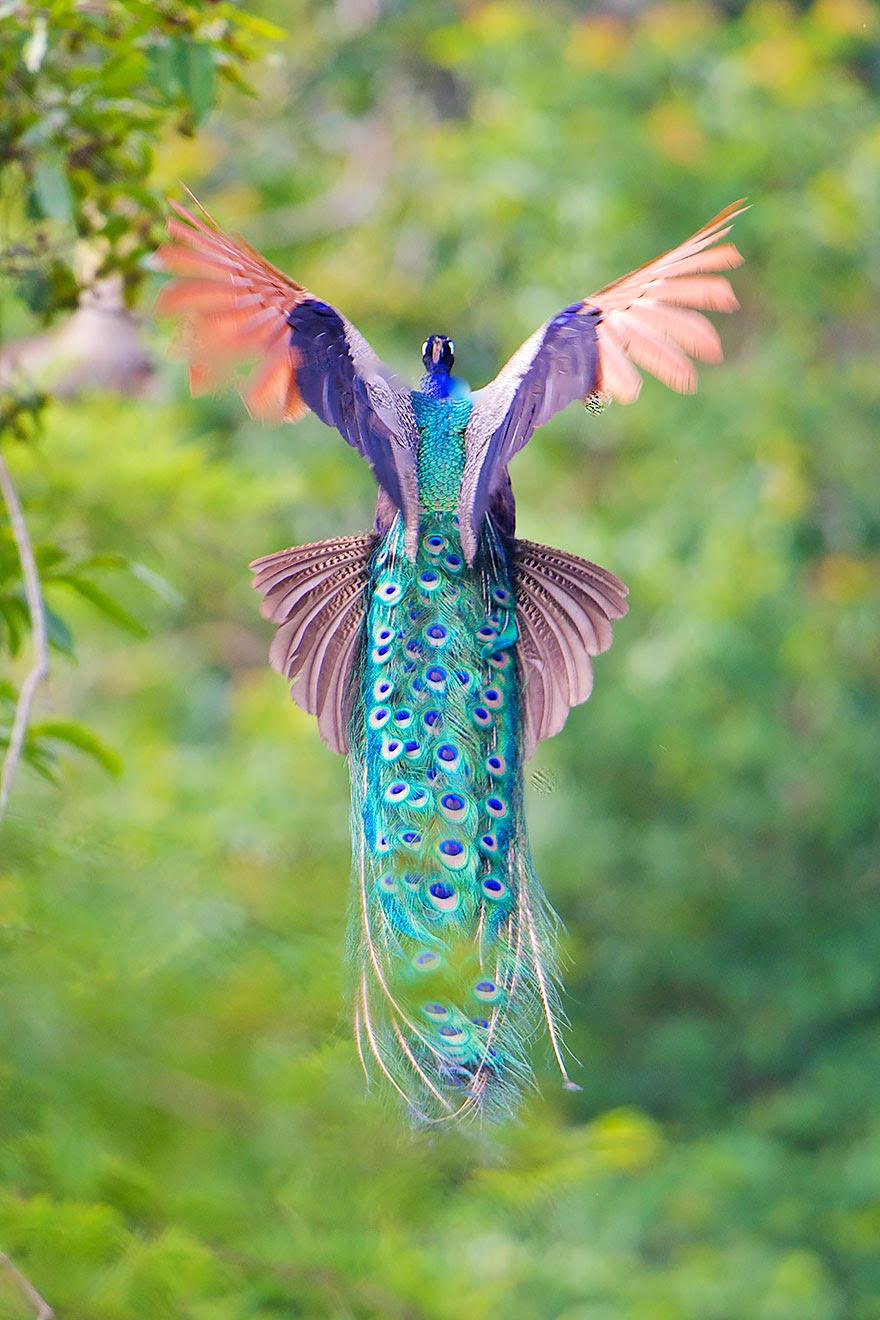 pavos-reales-volando (5)