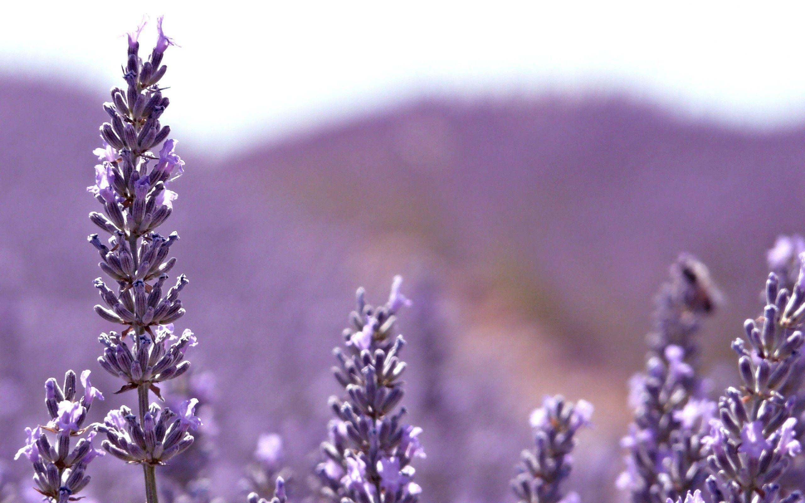 Kumpulan Lavender Flower Wallpaper Hd   wallpaper mobil