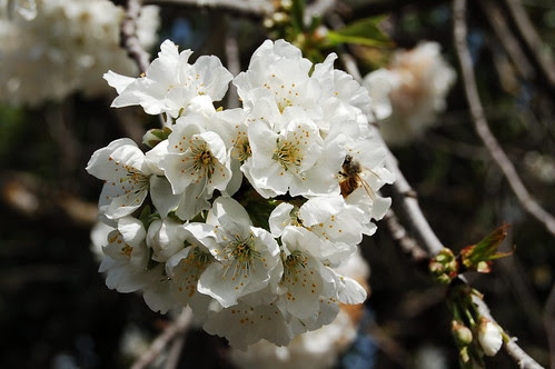 Bees like cherry blossoms