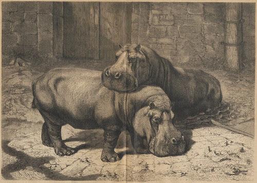 Hippos - Nijlpaard - Hippopotamus amphibius