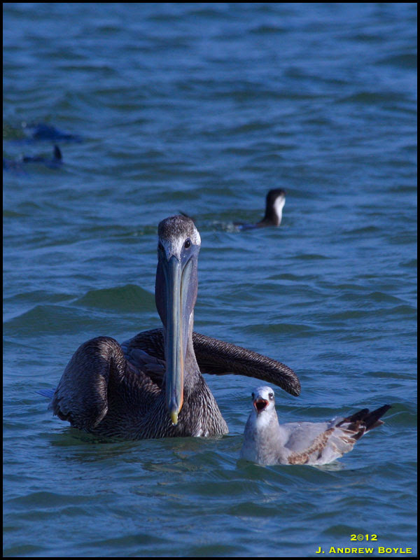 Brown Pelican and Laughing Gull