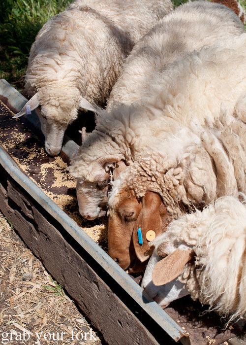 Sheep at the feeding trough at Island Pure Sheep Dairy and Cheese Factory