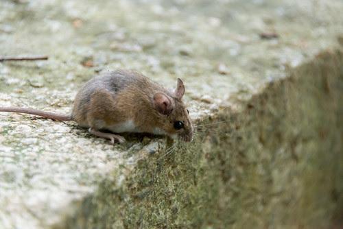 mice in Pkill