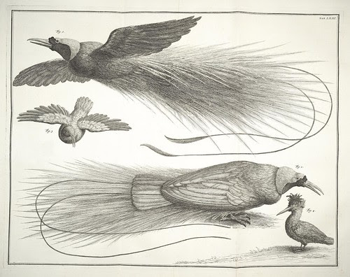 bird of paradise illustrations 18th century