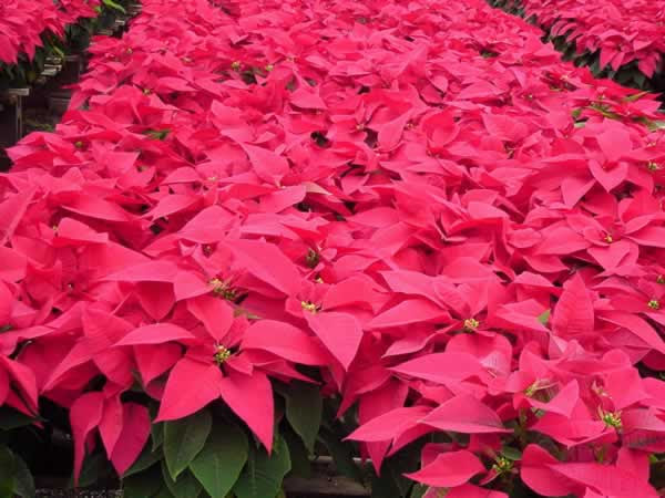 Poinsettias Facts Growing And Caring Tips Of Poinsettia Plant