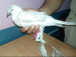'Spy' pigeon from Pakistan jailed in Pathankot